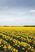 Daffodils growing in the Lincolnshire Fens<br /> Picture Tim Scrivener 07850 303986 <br /> scrivphoto@btinternet.com<br /> ….covering agriculture in the UK….