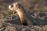 A black-footed ferret in a burrow in Buffalo Gap National Grasslands, South Dakota.