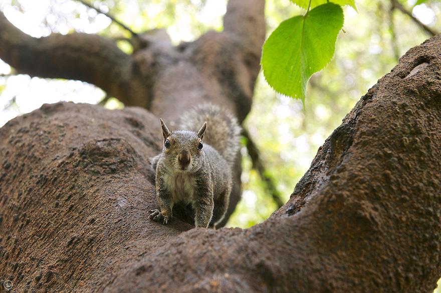 North America, USA, California, San Francisco, Golden Gate Park. Grey Squirrel.