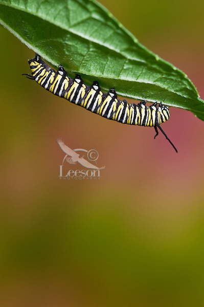 MONARCH BUTTERFLY (Danaus plexippus) 5th instar caterpillar explores underside of leaf in preparation for transformation from larval to pupal stage of its life cycle. Summer, Nova Scotia, Canada. Series: 1 of 8 images.