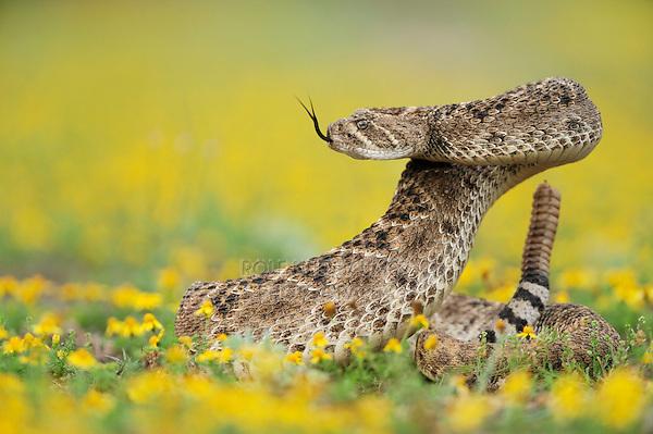 Western Diamondback Rattlesnake (Crotalus atrox), adult in striking pose in wildflower field,  Laredo, Webb County, South Texas, USA