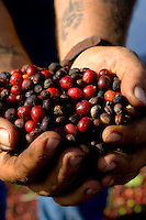A field worker inspects the quality of newly harvested Hawaii coffee beans