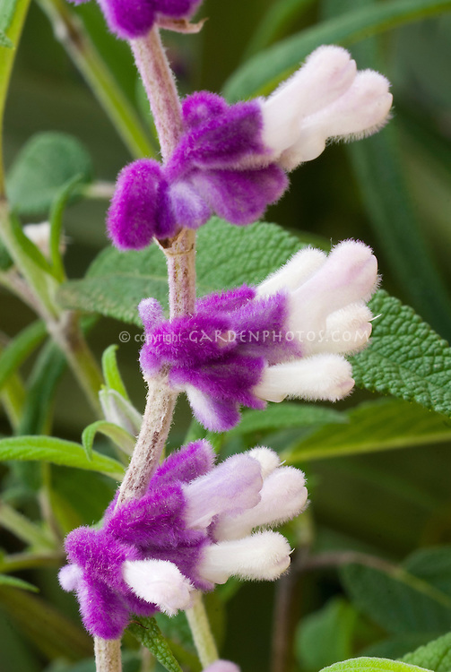 Salvia leucantha, closeup of purple and white fuzzy flower in autumn fall, Mexican Bush Sage