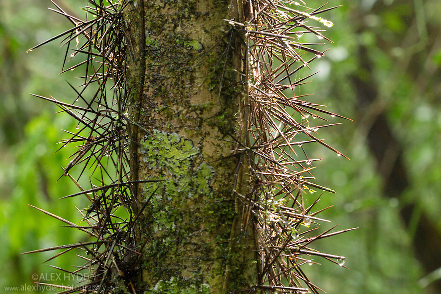 Rainforest vegetation covered in long spines. Corcovado National Park, Osa Peninsula, Costa Rica, May.