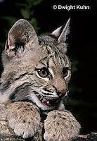 MA26-061z  Bobcat - Felis rufus