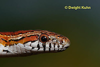 1R22-611z  Corn Snake, Banded Corn Snake, Elaphe guttata guttata or Pantherophis guttata guttata, close-up of head and eye