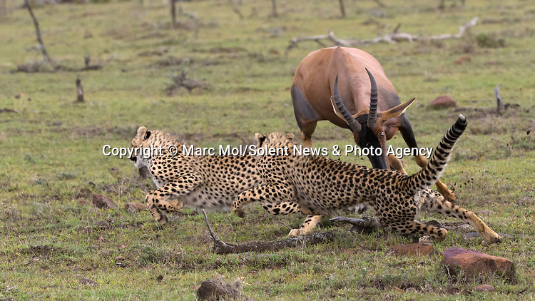 Pictured:  Sequence 6 of 11: The female Topi continues to chase the cheetahs away from her calf.<br /> <br /> An antelope accidentally crashes into its young calf as flee from five cheetahs.  The female topi had been grazing peacefully with the youngster before the predators attacked.<br /> <br /> Fortunately the pair were eventually able to escape by sprinting away from the hungry cheetahs.  The dramatic images were captured in the Naobosho Conservancy, on the Mara Reserve in Kenya by photographer Marc Mol.  SEE OUR COPY FOR DETAILS.<br /> <br /> Please byline: Marc Mol/Solent News<br /> <br /> © Marc Mol/Solent News & Photo Agency<br /> UK +44 (0) 2380 458800