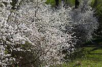 Schlehe, Schlehenhecke, Schlehen-Hecke, Hecke, Knick, Hecken, Gewöhnliche Schlehe, Schwarzdorn, Blüte, Blüten, Schlehenblüte, Prunus spinosa, Blackthorn, Sloe, hedge, Epine noire, Prunellier