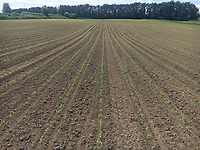 Photo: Richard Lane/Richard Lane Photography. Maize seedlings. 23/05/2019.