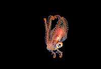 Blanket Octopus, Tremoctopus species, male, blackwater dive off Anilao, Philippines, Pacific Ocean