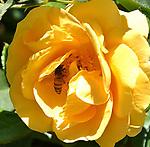 Late June Roses