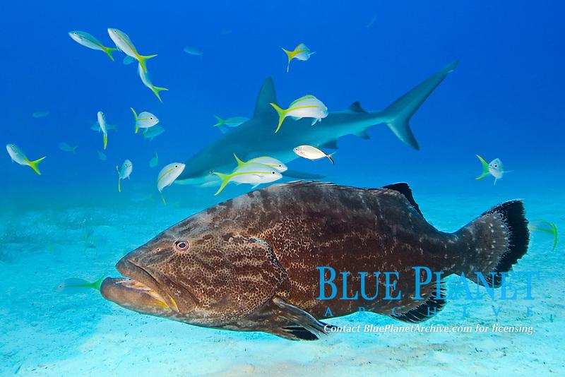 Black Grouper, Mycteroperca bonaci, and Caribbean Reef Shark, Carcharhinus perezii, West End, Grand Bahamas, Atlantic Ocean