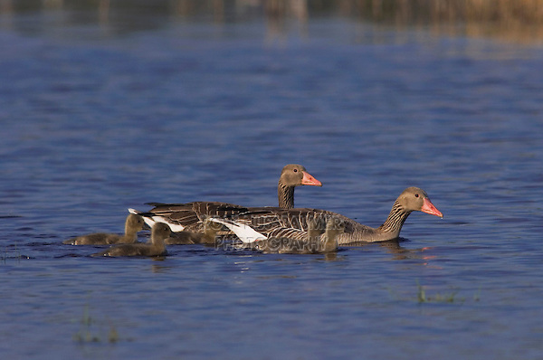 Greylag Goose, Anser anser, adults with young,National Park Lake Neusiedl, Burgenland, Austria, April 2007