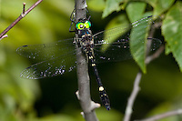 Swift River Cruiser (Macromia illinoiensis illinoiensis) Dragonfly - Male (northern subspecies), Ward Pound Ridge Reservation, Cross River, Westchester County, New York