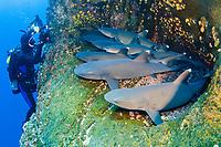 Whitetip Reef Shark, Triaenodon obesus, Roca Partida, Revillagigedo Islands, Mexico, Pacific Ocean