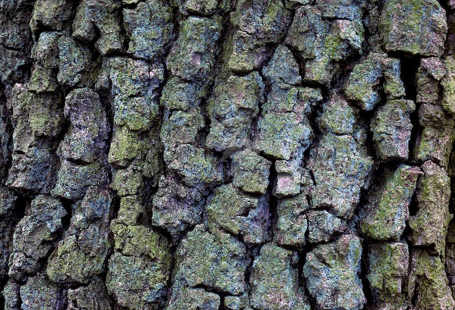 Wintereik (Quercus petraea)