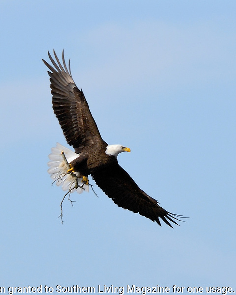 Bald Eagle brings a limb for nest upkeep in Llano, TX.  March 2, 2006.
