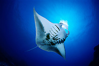 reef manta ray feeding on plankton, Manta alfredi, Kona Coast, Big Island, Hawaii, USA, Pacific Ocean, digital composite