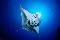 reef manta ray feeding on plankton, Mobula alfredi, Kona Coast, Big Island, Hawaii, USA, Pacific Ocean, digital composite