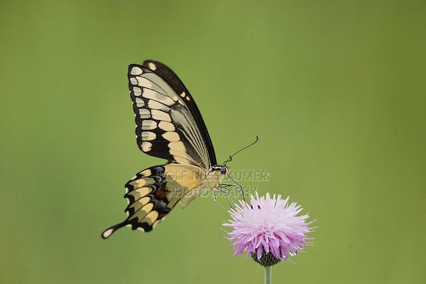 Giant Swallowtail (Papilio cresphontes), adult feeding on texas thistle, Sinton, Corpus Christi, Coastal Bend, Texas, USA