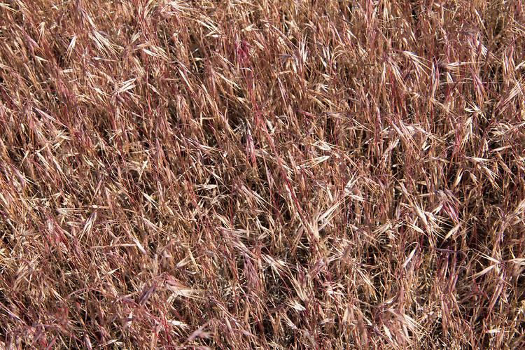 Hanford Reach National Monument, Cheat Grass, Bromus tectorum, invasive species, White Bluffs, Eastern Washington; Washington State, USA, spring, Nature Conservancy, Hanford May 2017 TNC,