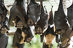 Tolga Bat Hospital -Spectacled Flying Foxes (Pteropus conspicillatus)