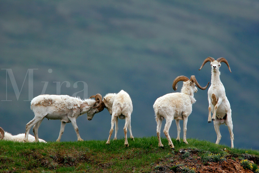 Dall Sheep (Ovis dalli dalli) rams in Polychrome Pass, Denali National Park, Alaska