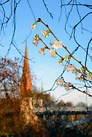 Bluete im Dezember in Hamburg: EUROPA, DEUTSCHLAND, HAMBURG, (EUROPE, GERMANY), 30.12.2013: Bluete im Dezember in Hamburg, in Hamburg Hohenfelde am Eilbekkanal am Kuhmuehlenteich blühen die Bäume, im Hintergrund die St. Gertrud Kirche.
