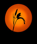 Photographer perfectly recreates sunset in his studio with harvest mice by Ron McCombe