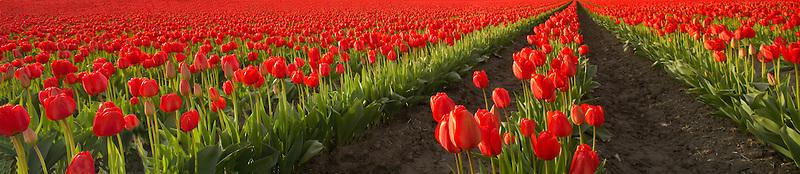 Field of red tulips panormia. Near Mt. Vernon. Washington