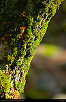 Moss and Lichens on Tree in Spring, Eastern Approach Trail to Lower Yosemite Fall, Yosemite National Park