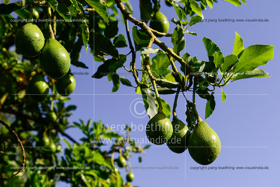 Kenya, green fruit of Avocado tree / KENIA, gruene Frucht des Avocado Baum
