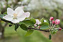 """Apple 'Baldwin' blossom, early May. An American dessert apple. """"The 'Baldwin' is believed to have originated as a chance seedling on the farm of John Ball, near present-day Wilmington, Massachusetts sometime around 1740. The """"discovery"""" of the apple however, is commonly credited to a man by the name of William Butters, who later come into possession of the farm and named the apple the 'Woodpecker' or 'Pecker' for short, in honor of the many Woodpeckers he observed frequenting the tree. Even after it's naming however, the apple largely remained unknown until a local surveyor by the name of Deacon Samuel Thompson, encountered the tree and brought the apples to the attention of Loammi Baldwin. Baldwin a Colonel and an engineer on the Middlesex Canal, took a liking to the apple and is largely responsible for it's propagation and further introduction into other parts of New England. The apple held prominence in New England and other parts of the Northeast, including New York, throughout the 19th century. However, by the early 1900s the Baldwin began to loose favor as an eating apple, being replaced by the 'Jonathan'. It's plight was not helped by an especially cold winter in 1934 that wiped out entire 'Baldwin' orchards in many parts of New England. After this massacre, many of the orchards were either never replanted or were replaced by new cultivars. Because of its desirability as a cider apple, however, it can still be found in many parts of the Northeastern United Sates.""""<br /> http://appleharvester.blogspot.co.uk/2010/04/story-of-apple-baldwin.html"""