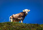 Oesterreich, Tirol, Tuxertal, oberhalb Lanersbach: Vieh auf der Alm | Austria, Tyrol, Tuxer Valley, above Lanersbach: cattle at alpine pasture