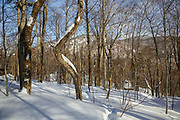 Hardwood forest on the northern slopes of Mount Waternomee in New Hampshire's Kinsman Notch in the White Mountains during the winter season.