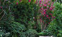 Lagerstroemia 'Tuskegee', Tuskegee Crepe Myrtle tree flowering in Gamble Garden, Palo Alto, California