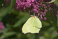 Zitronenfalter, Zitronen-Falter saugt an den Blüten vom Schmetterlingsflieder, Buddleja, Blütenbesuch, Nektarsuche, Gonepteryx rhamni, brimstone