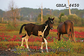 Bob, ANIMALS, REALISTISCHE TIERE, ANIMALES REALISTICOS, horses, photos+++++,GBLA4450,#a#, EVERYDAY