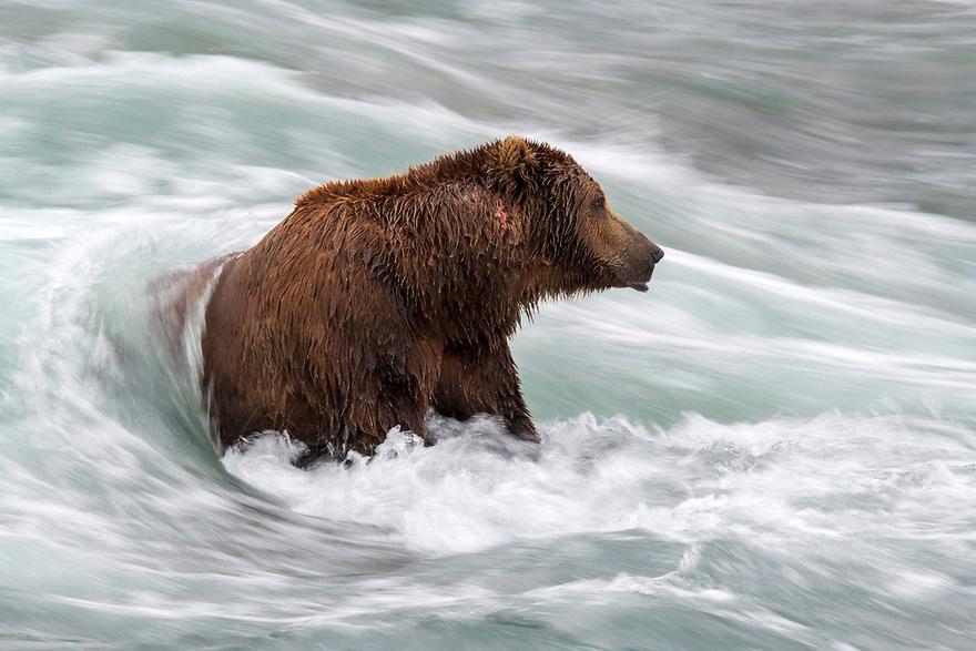 McNeil River Brown Bear Viewing
