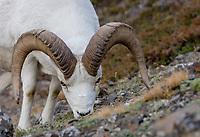 Dall sheep or Thinhorn sheep ram (Ovis dalli) feeding, Kluane National Park and Reserve, Yukon Territory. Sept.