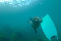 Sea lion (Zalophus californianus) biting a diver flipper, Underwater view, Ecuador, Galapagos Archipelago, San Cristobal Island