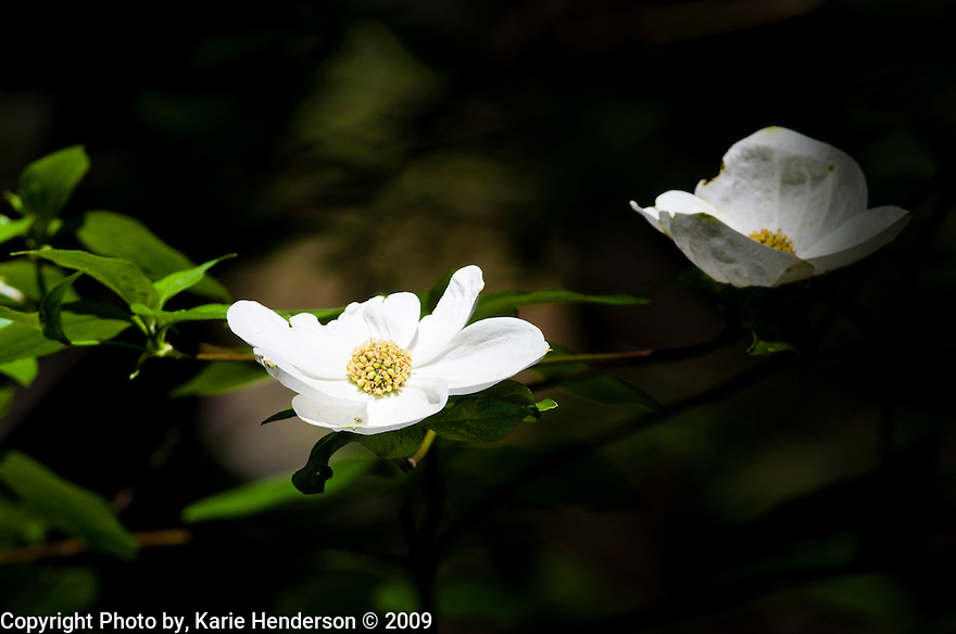 Dogwood bloom in the Giant Sequoia National Park.