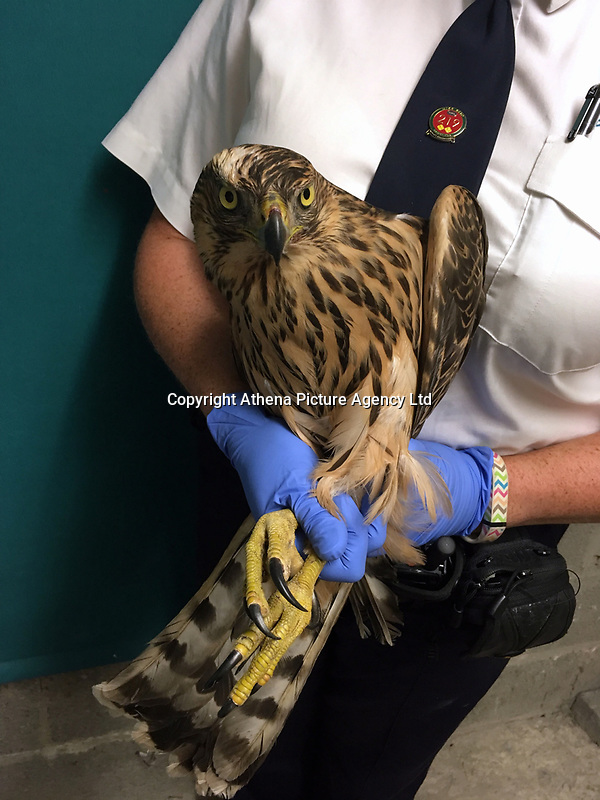 """COPY BY TOM BEDFORD<br /> FOR PICTURES PLEASE BYLINE RSPCA/Athena Pictures<br /> Pictured: The rare goshawk which has been released back to the wild after being rescued by the RSPCA<br /> Re: A rare bird of prey has been rescued and returned to the wild after it was found in a chicken coop.<br /> The goshawk was discovered at a Carmarthenshire smallholding after the owner was alerted to a """"commotion"""" coming from the chicken run.<br /> The bird, which is a type of large hawk, was confined until the RSPCA attended and collected her.<br /> All chickens escaped to the upstairs of the coop and were uninjured.<br /> RSPCA animal collection officer Ellie West, who completed the rescue, said it was a """"highly unusual find"""" and her """"first encounter with a wild goshawk"""".<br /> She said: """"It was some ordeal for the chickens. One hen ran into the coup, and initially still had the goshawk clinging to her back.<br /> """"Fortunately, they all escaped unharmed, and were fine - as was a pretty startled goshawk.<br /> The bird of prey was monitored overnight before being released."""