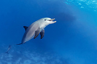 Indo-Pacific bottlenose dolphin, Tursiops aduncus, showing tongue, Yellow Fish Reef, Abu Nuhas, Strait of Gubal, Egypt, Red Sea, Indian Ocean