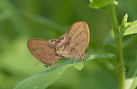 Gemmed Satyr (Cyllopsis gemma), pair mating, Hill Country, Central Texas, USA