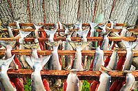 Red (sockeye) salmon (Oncorhynchus nerka) hangs to dry at a fish camp on Six Mile Lake near Nondalton, Alaska, adjacent to Lake Clark National Park and Preserve, where the traditional subsistence ways of catching and preserving salmon as they return from the sea in mid July are still practiced today.  NOT FOR USE BY THE MINING INDUSTRY.