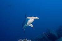 Scalloped Hammerhead shark (Sphyrna lewini) at Darwin Island, Galapagos Islands, Ecuador, East Pacific Ocean