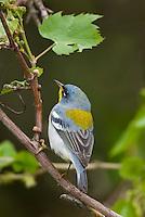 Male Northern Parula warbler (Parula americana)