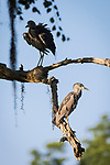 Damon, Texas; a pair of juvenile yellow-crowned night-herons perched on a tree branch above the edge of the slough in late afternoon sunlight