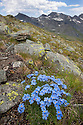 King of the Alps {Eritrichium nanum} growing on mountainside. Aosta Valley, Monte Rosa Massif, Pennine Alps, Italy. July.